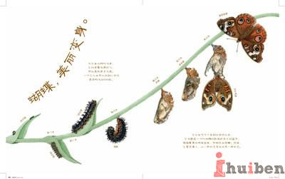 蝴蝶成长过程简笔画